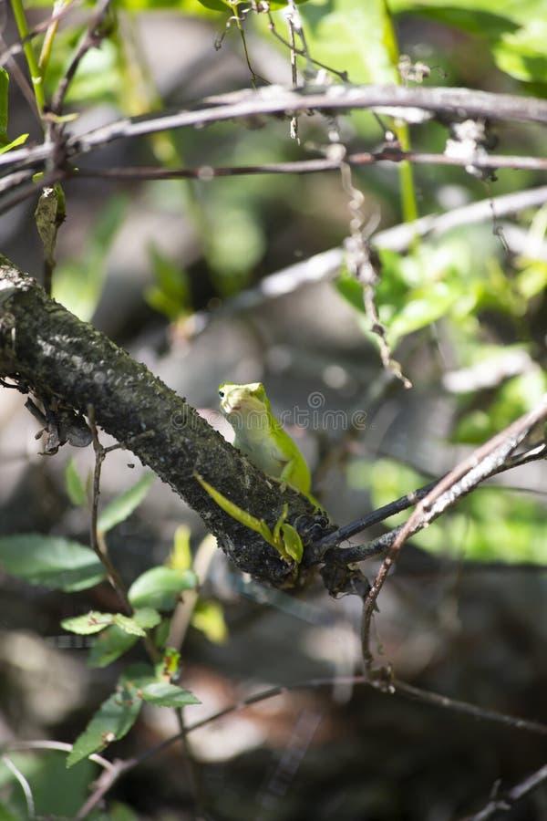 Anole vert sur la branche image stock