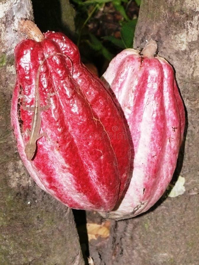 Anoli ящерицы на розовом стручке какао стоковая фотография rf