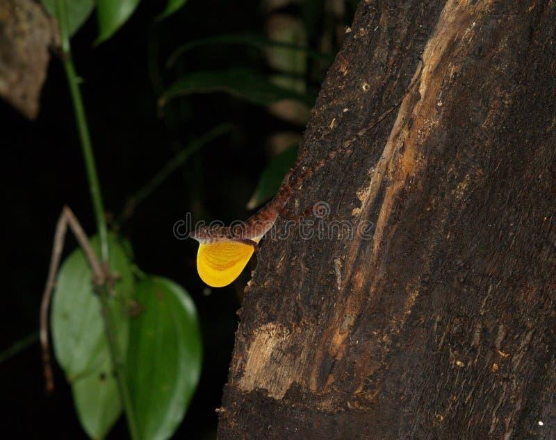 Anolis polylepis zdjęcie stock