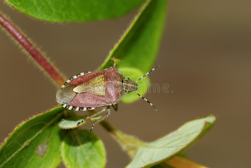 Anomalie de prunellier, baccarum de Dolycoris photo libre de droits