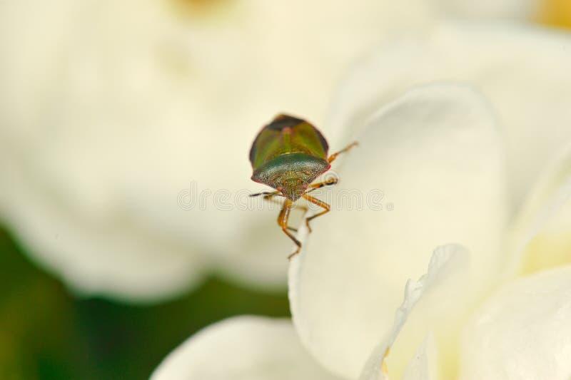 Anomalies de bâti sur la fleur blanche photos stock