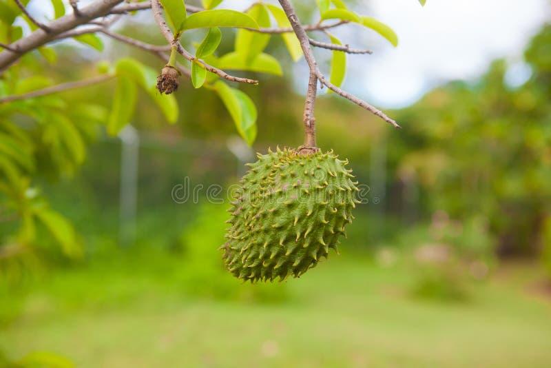 Download Anona fotografia stock. Immagine di verde, jamaica, frutta - 55352358