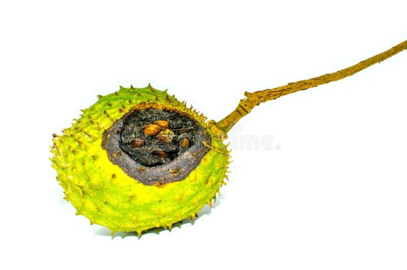 Anona espinoso redondo putrefacto o Annona L muricata de la guanábana Aislado en el fondo blanco imagen de archivo