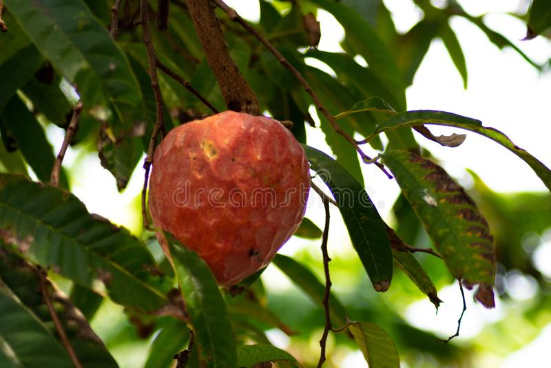 Anona maduro en ?rbol del reticulata del Annona imagen de archivo