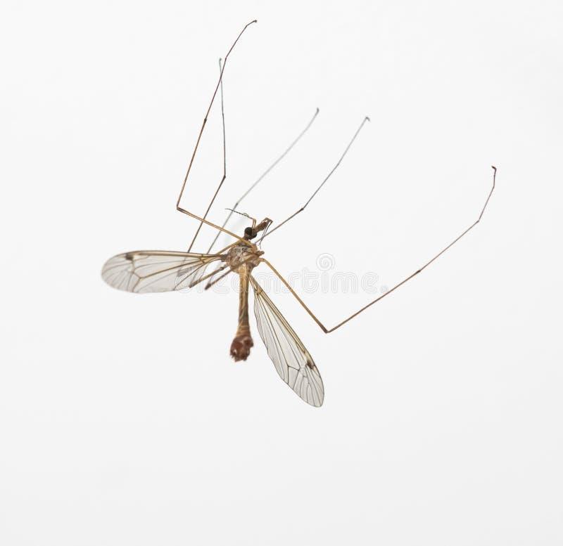 Anophèles moustique, mouche de grue photographie stock