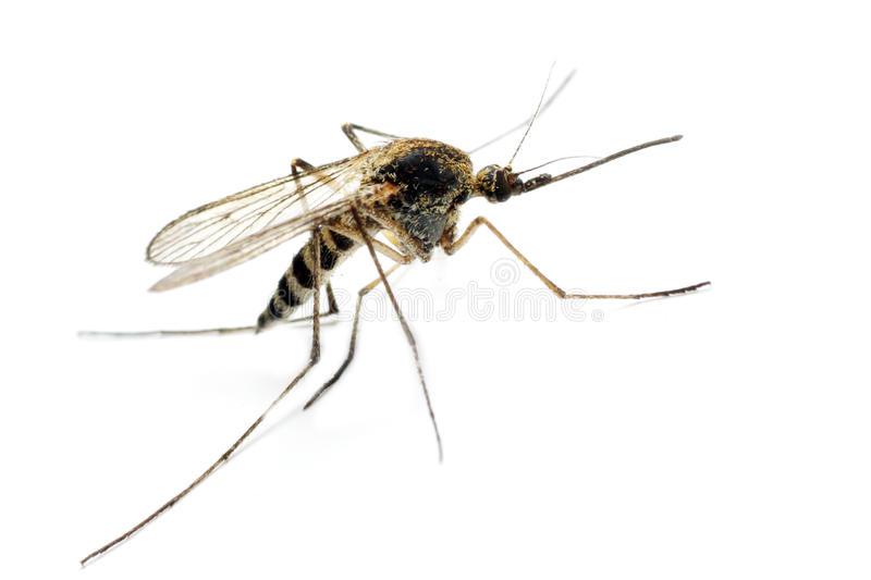 Anopheles mosquito. Dangerous vehicle of infection - isolated on white background royalty free stock photos