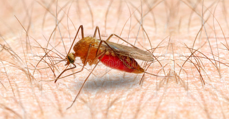 Anopheles mosquito. royalty free stock image