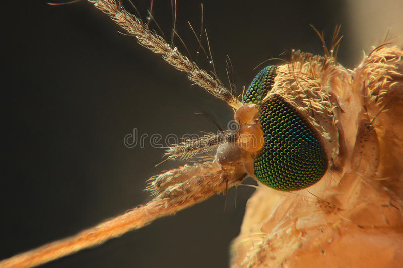 Anopheles mosquito, extreme close-up. Of eye and needle royalty free stock images