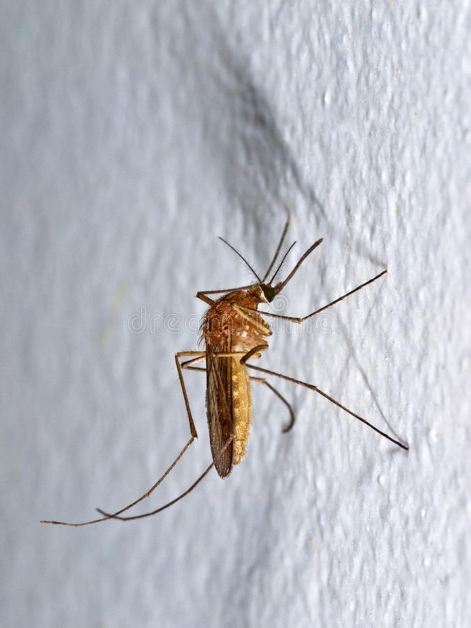 Anopheles mosquito stock photo
