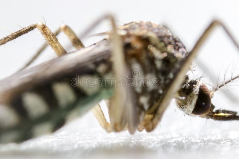 Anopheles SP είναι ένα είδος κουνουπιού στα δίπτερα διαταγής, Anopheles SP Στο ύδωρ στοκ εικόνα
