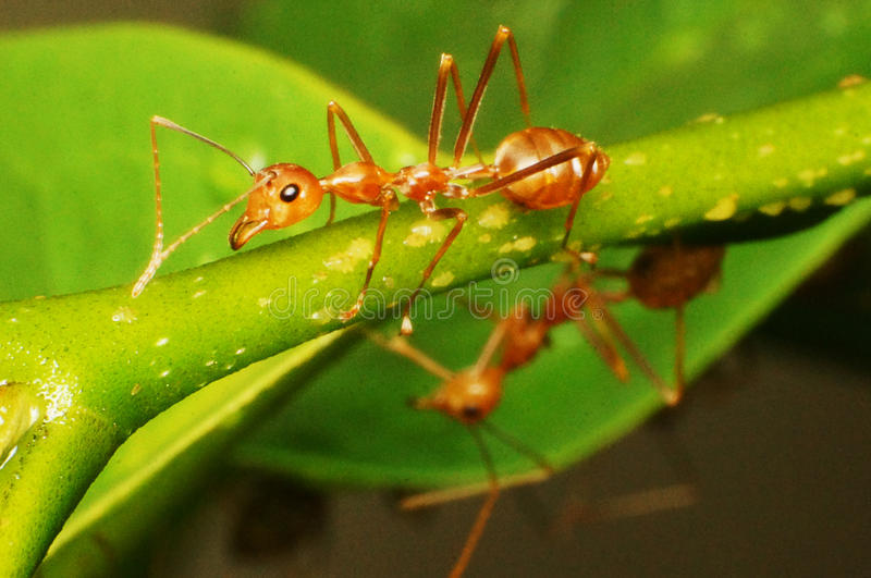 Download Anoplolepis Gracilipes Crazy Ants Stock Image - Image of pest, asia: 80232291