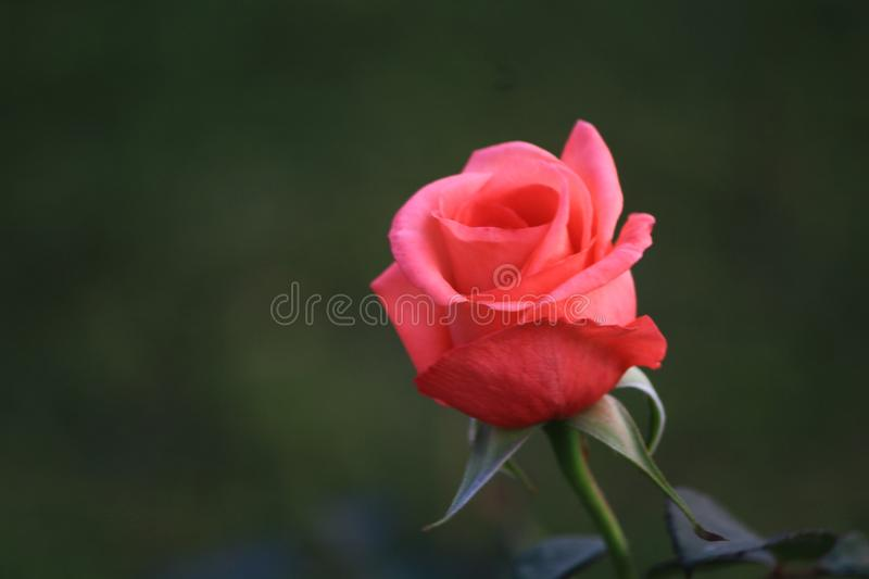 Another beautiful rose bud ready to bloom stock photo