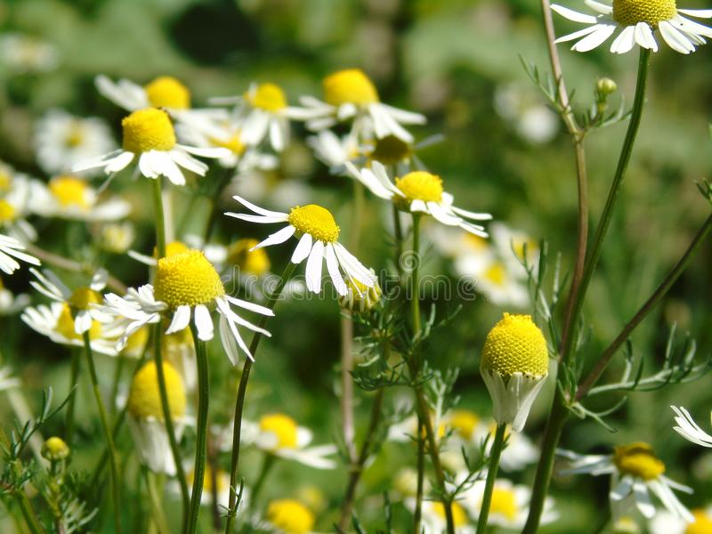 Chamomile. Another summer photo of chamomile royalty free stock photography