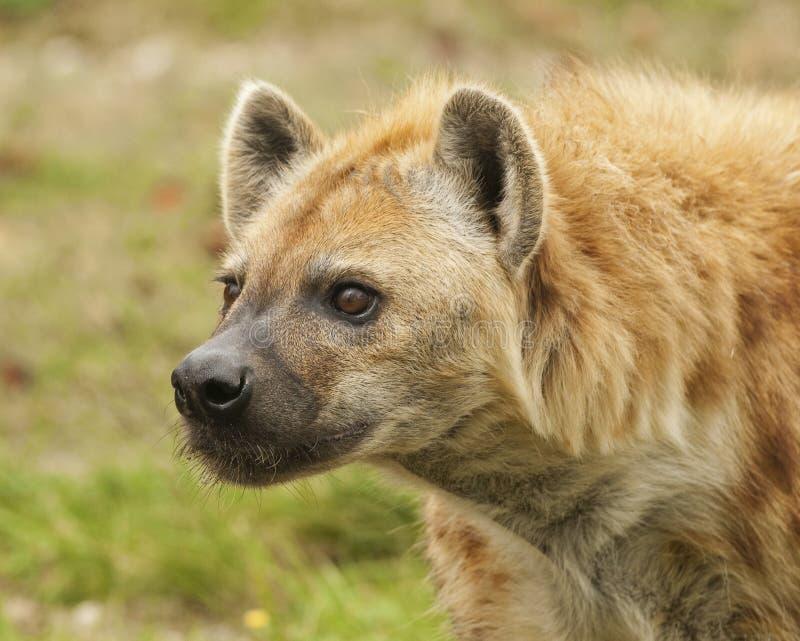Anpirschende Hyäne Stockfotos