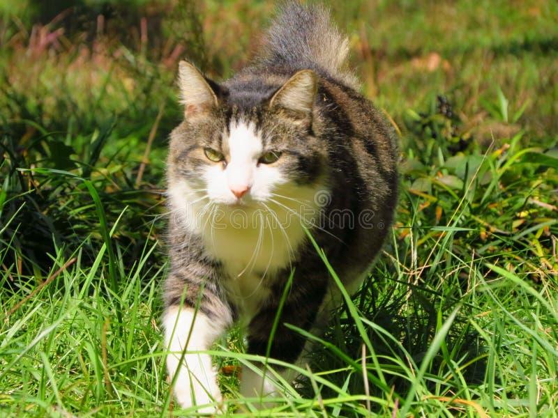 Anpirschende Katze stockfotografie