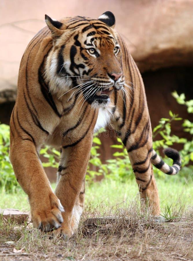 Anpirschender Tiger stockbilder