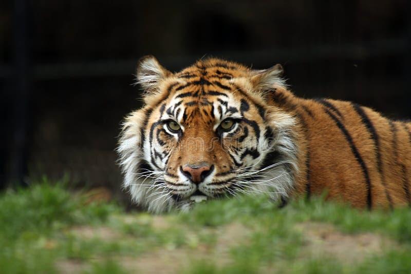 Anpirschender Tiger Lizenzfreie Stockfotos