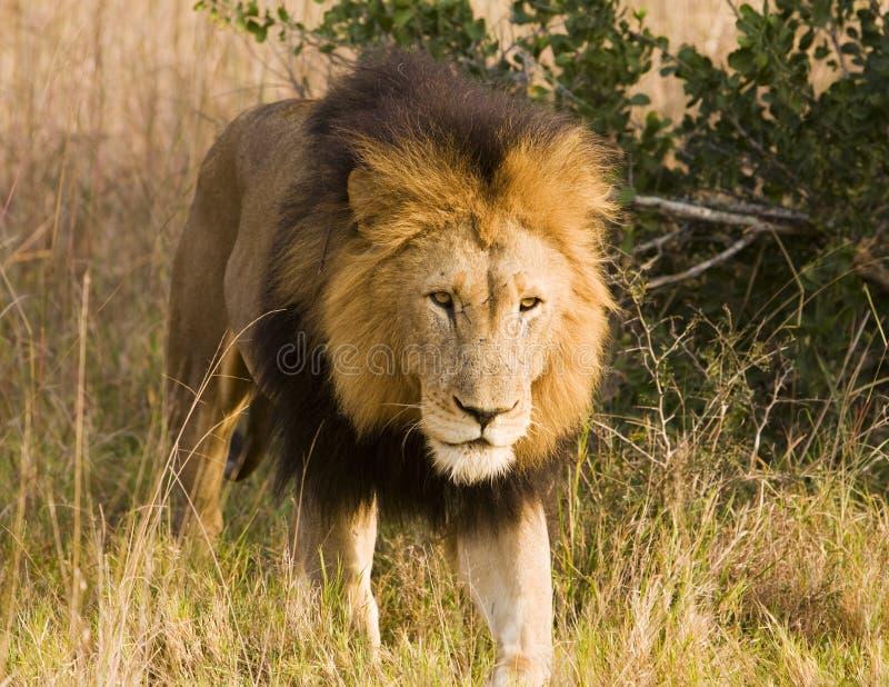 Anpirschender wilder Löwe, auf Safari stockfoto