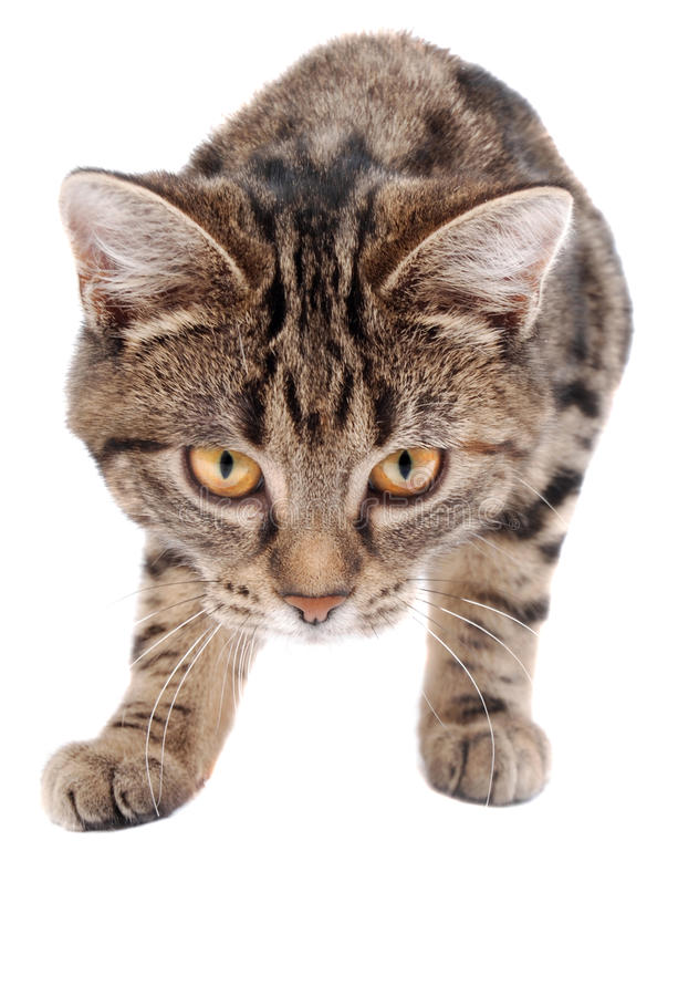 Anpirschendes Tabby-Kätzchen Stockbilder