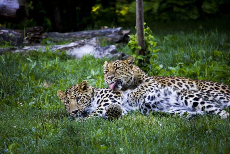 Ansa för Amur leoparder royaltyfri fotografi