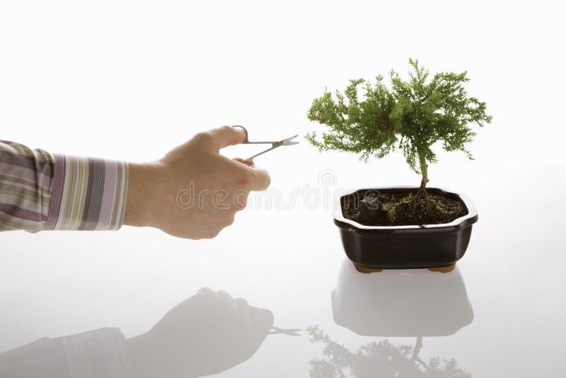 ansa för bonsai royaltyfria bilder