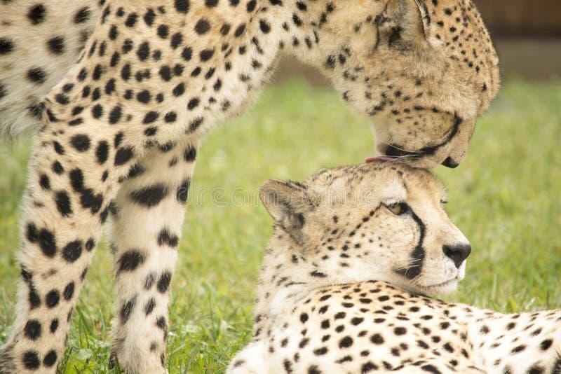 Ansa för geparder arkivfoto