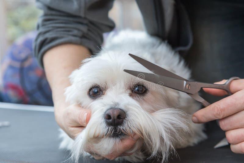 Ansa frans av den vita hunden royaltyfria bilder