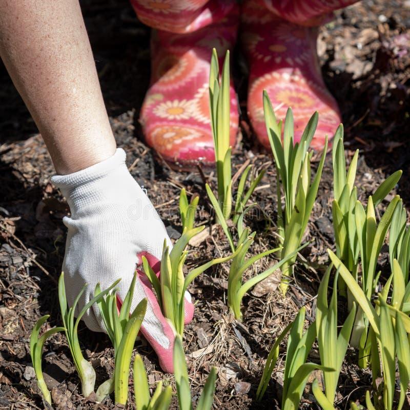 Ansa spira påskliljor på en solig våreftermiddag royaltyfria foton