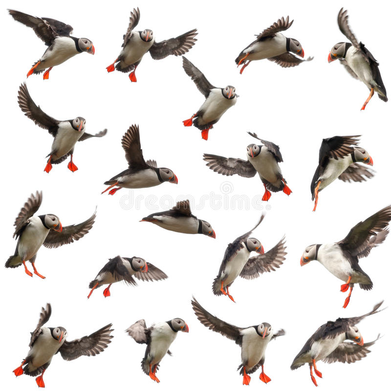 Ansammlung des atlantischen Papageientauchers oder des gemeinen Papageientauchers stockbild