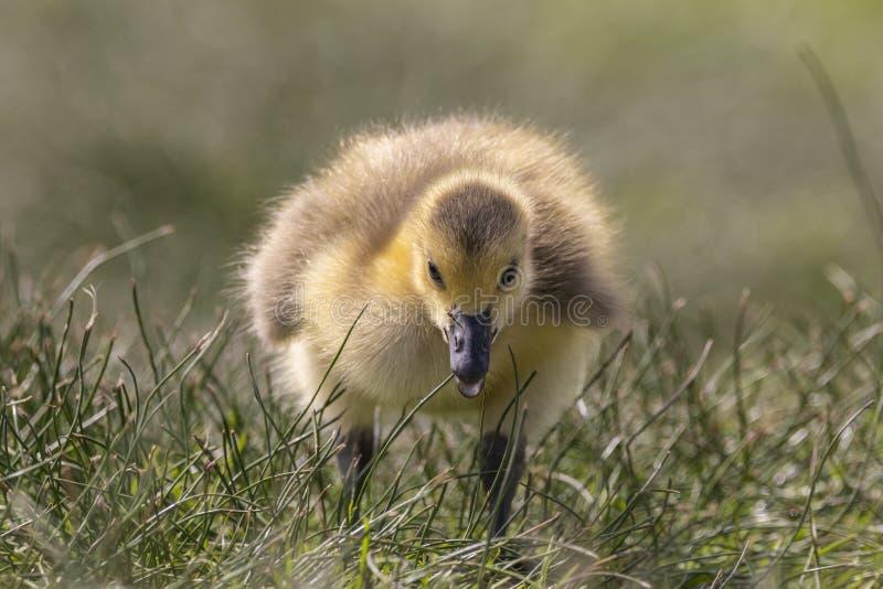Ansarón adorable del bebé en cierre de la hierba para arriba imagen de archivo
