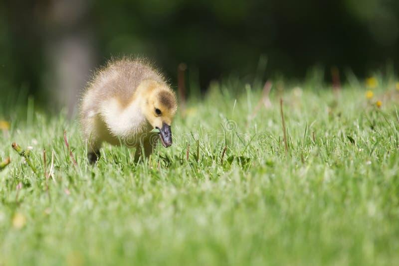 Ansarón del ganso de Canadá que camina en la hierba fotografía de archivo libre de regalías