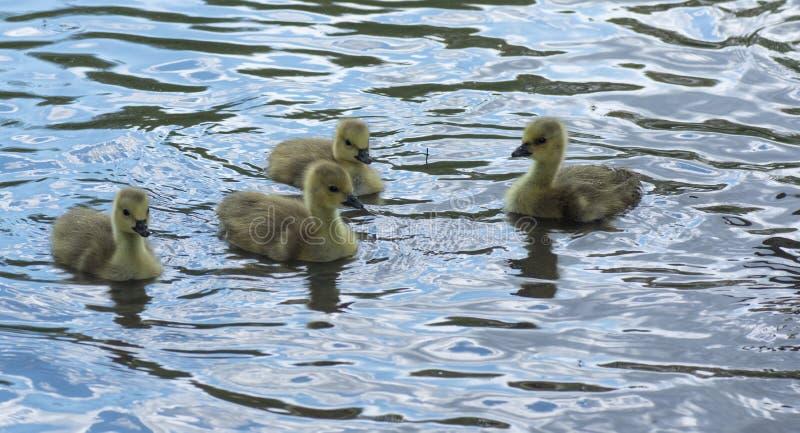 Ansarones canadienses del ganso que nadan alrededor foto de archivo