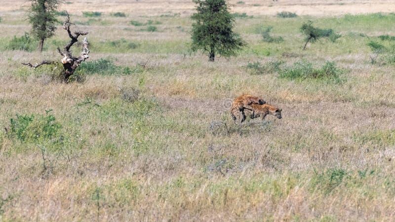 Anschluss mit zwei Hyänen lizenzfreie stockfotos