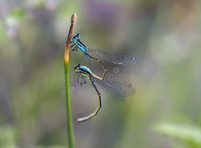 Anschluss mit zwei Libellen lizenzfreie stockbilder