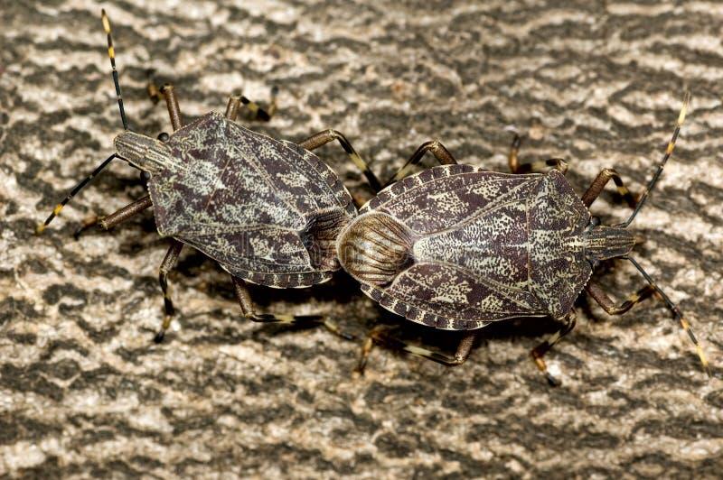 Anschluss mit zwei Pentatomidae-Gestank-Wanzen stockfotografie
