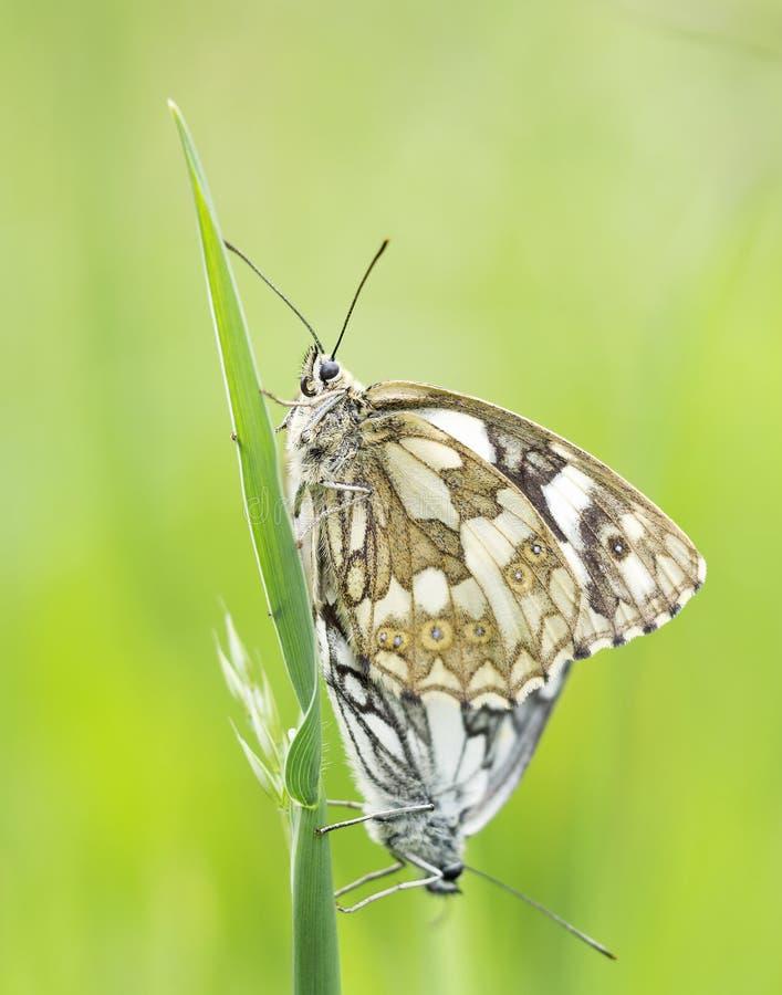Anschluss mit zwei Schwarzweiss-Schmetterlingen stockbild