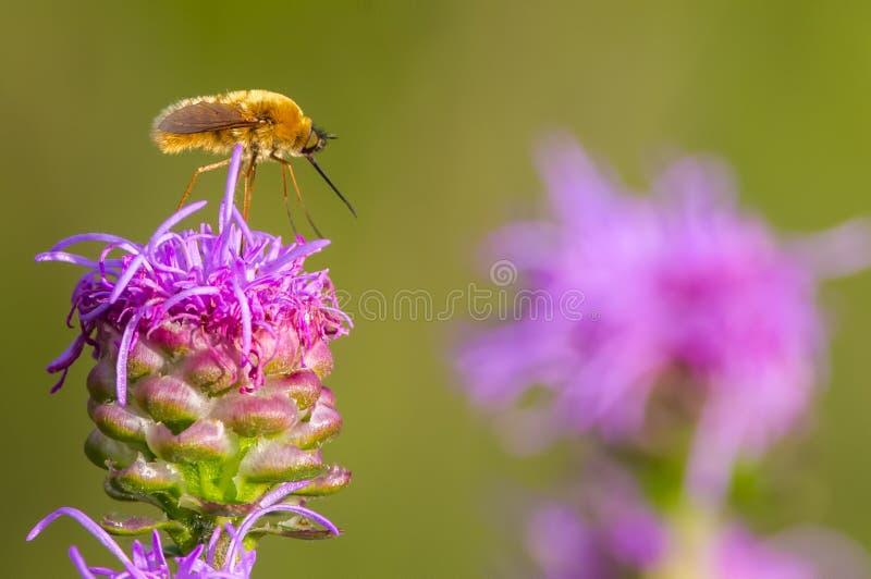 Anseende för bifluga/sätta sig på den purpurfärgade flammande stjärnan i grässlättarna av området för Crexängdjurliv i nordliga W royaltyfri foto