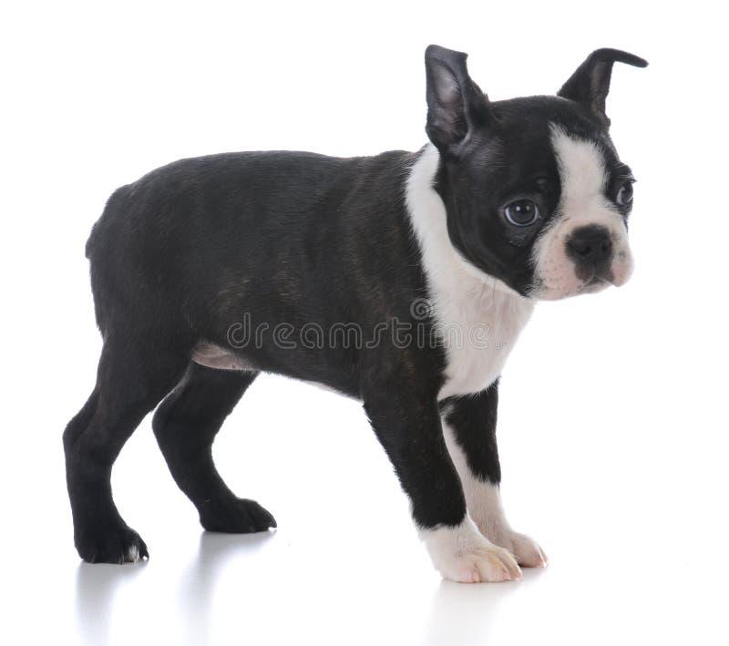 anseende för boston terriervalp royaltyfria foton