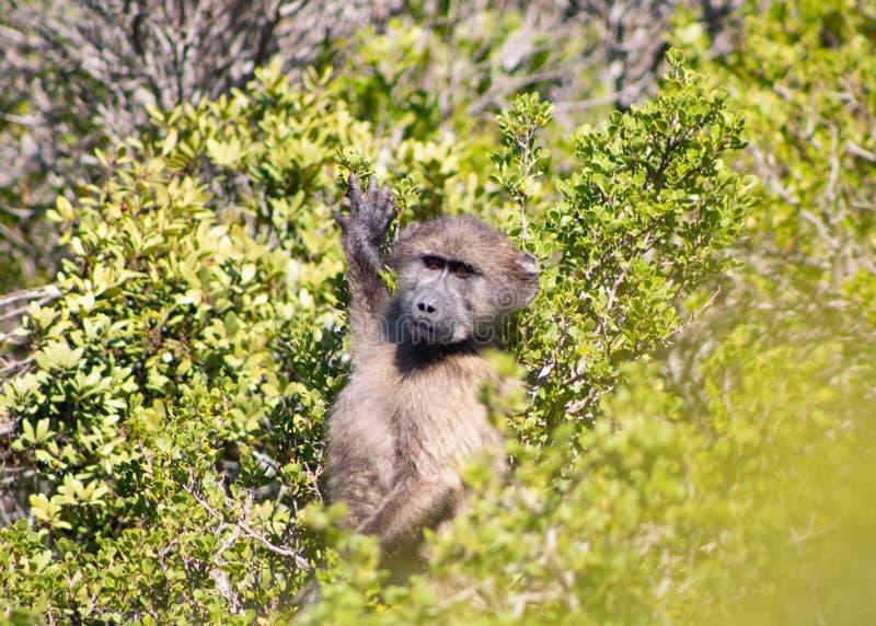 Anseende för Chacma babian i fynbosna fotografering för bildbyråer