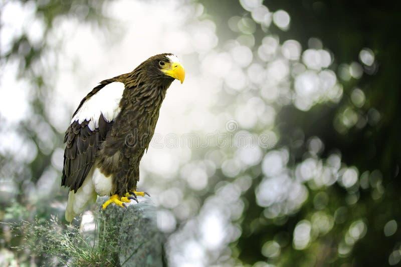 Anseende för fågel för örn för hav för Steller ` s på en polbana i för royaltyfri foto