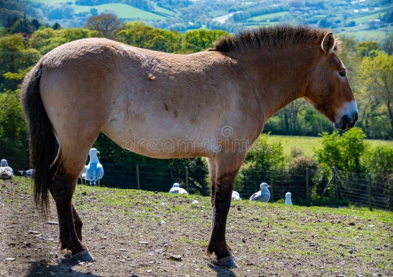 Anseende för häst för Przewalski ` s i ett fält arkivfoton