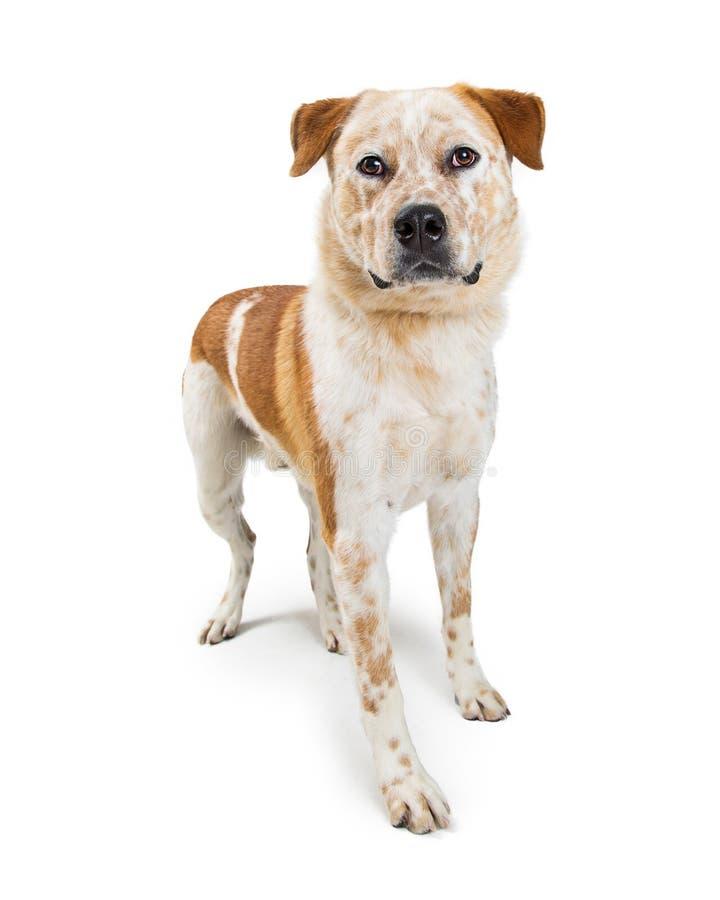 Anseende för Heeler hundblandning på vit arkivfoto