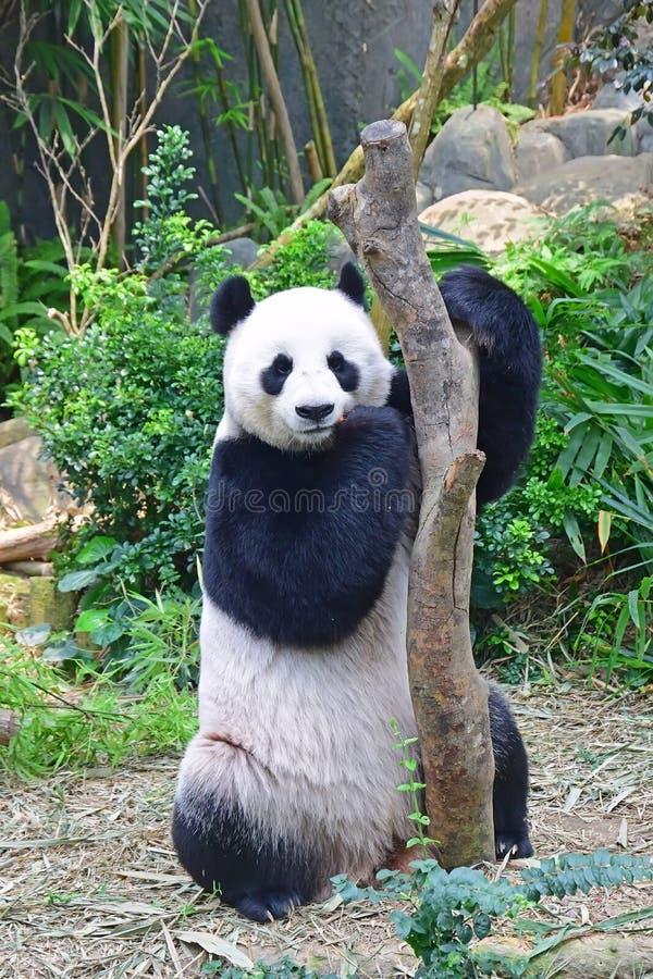 Anseende för jätte- panda som äter, når att ha nått ut för moroten arkivbild