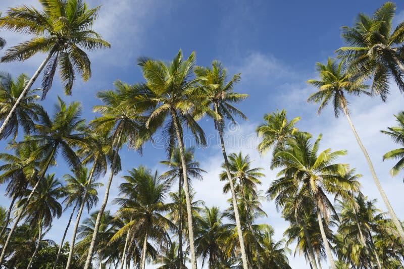 Anseende för kokosnötpalmträddunge i blå himmel fotografering för bildbyråer