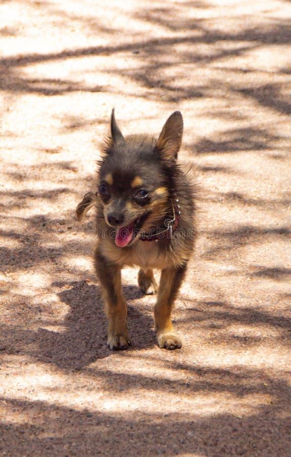 Anseende för liten hund för litet format gulligt på en jordning på dagen på sommar royaltyfri foto