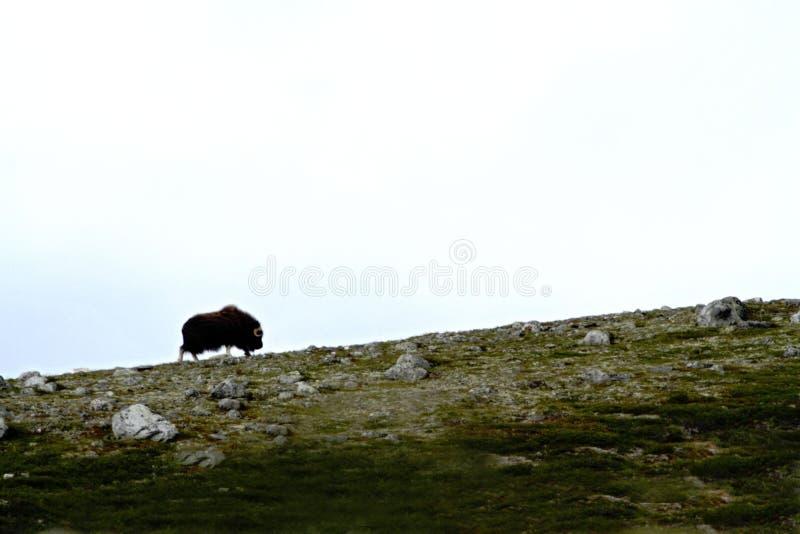 Anseende för Muskox Ovibosmoschatus på horizont i Grönland Stora djur för väldigt löst fä i naturlivsmiljön, landskap med arkivbilder