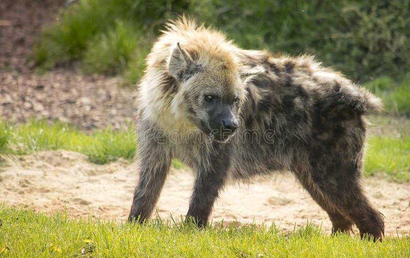 Anseende för prickig hyena i det gröna gräset arkivfoto