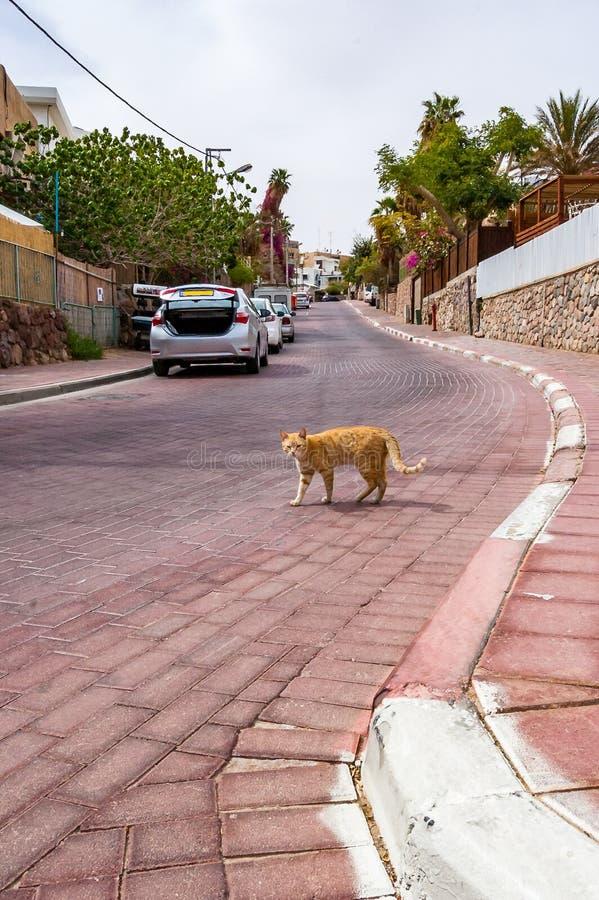 Anseende för rödhårig mangatakatt på vägen i Eilat, Israel arkivfoto