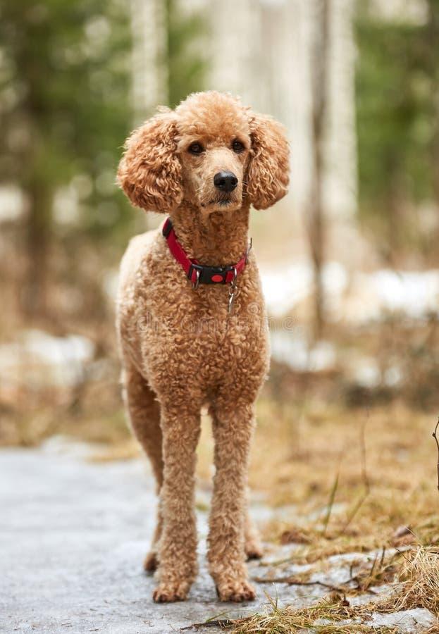 Anseende för standard pudel i vårskogen som är klar för handling utomhus- stående för hund arkivfoton