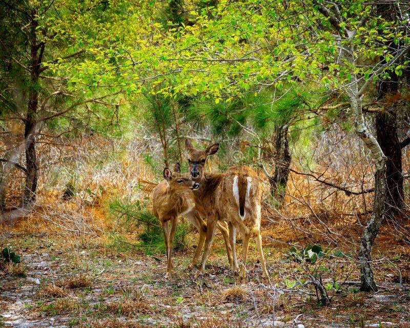 Anseende för två hjortar i skog royaltyfria bilder